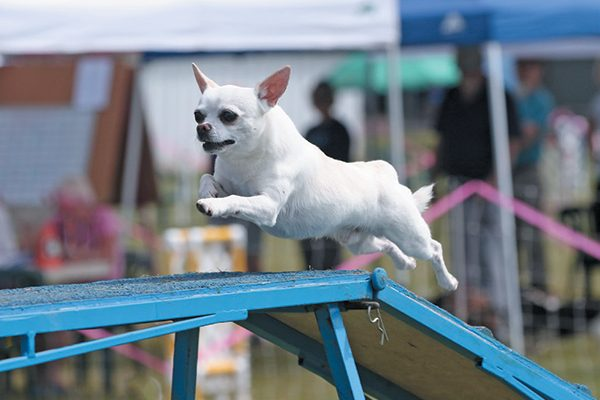 Small but mighty, the Chihuahua dog can excel in dog sports such as agility and rally. Photography Courtesy Lori Sage and Joe Camp.