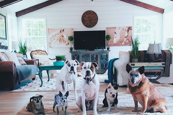 Christina Lee and her husband, Chris, have four deaf dogs: Nitro (Boxer), Bud (Boxer), Bowie (Boston Terrier) and Cornell (Heeler) and two hearing seniors: Tallulah (a Chug) and Pepe (Chihuahua). Photography Courtesy Christina Lee.
