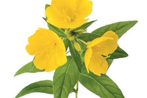 Evening primrose gets its name because the petals bloom at night. Photography ©GlobalP | Getty Images.