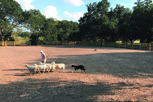 Check out the sheep herding at The Bonfire Texas 2018.