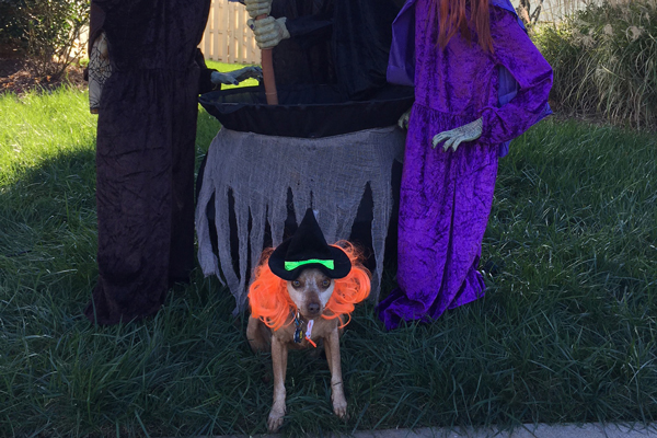 Miniature Pinscher mixed-breed dog Justice dresses up as a witch for Halloween.
