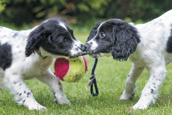 Two puppies fighting over a toy or playing tug of war.