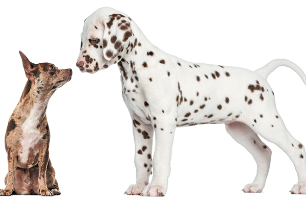 Choosing a small, medium, large or giant dog should be a big consideration. Photography © GlobalP | Getty Images.