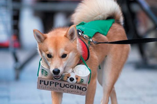 "Nala the Pomsky won Cutest Costume as a ""Puppuccino"" at the 2017 Annual Doggone Halloween Costume Parade."