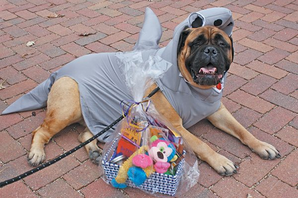 This Bullmastiff won Scariest prize at the 2017 Geneva Park District Howl o' ween Dog Parade.