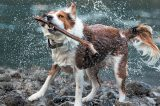 A dog shaking off water.