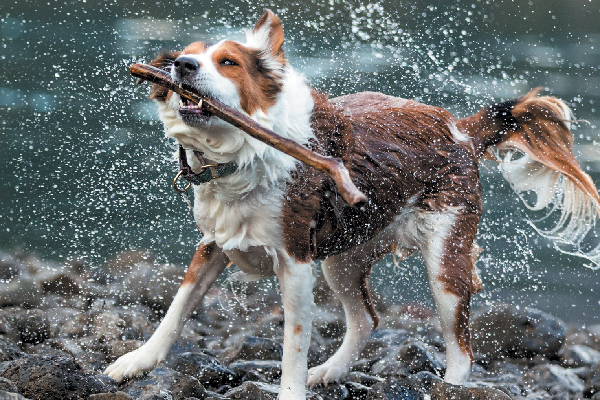 Why Do Dogs Shake What Causes And How To Handle Dog Shaking