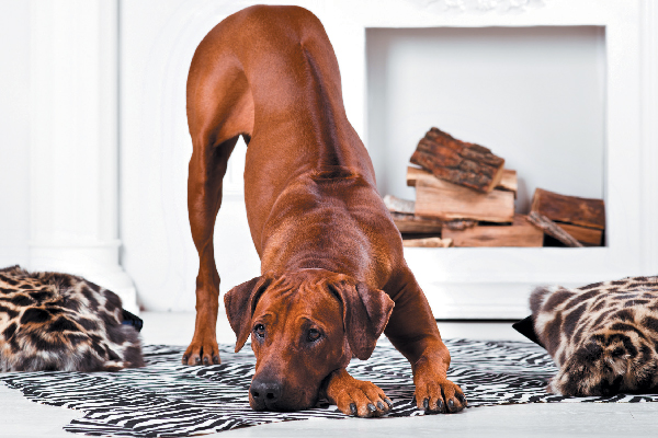 Rhodesian Ridgeback doing a playful bow.