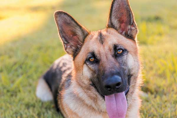 Get to know and love the GSD. Photography ©Charlotte Reeves Photography.
