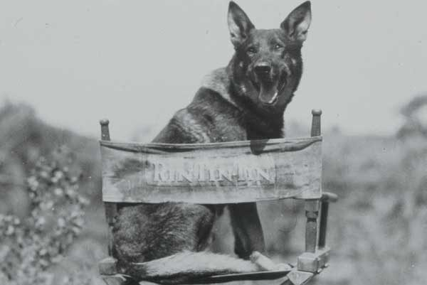 Rin Tin Tin was one of the most popular GSD movie stars in history. Photography bum | Alamy Stock Photo.