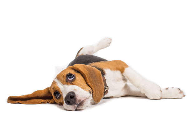 A beagle looking up.