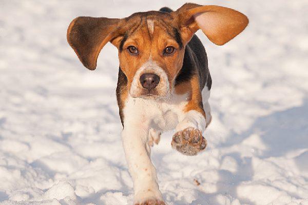 A Beagle running through the snow.