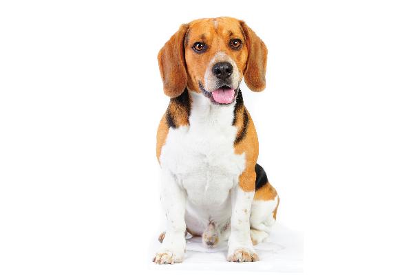 A tricolor Beagle.