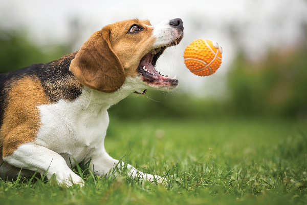 A dog catching a toy ball in his mouth.