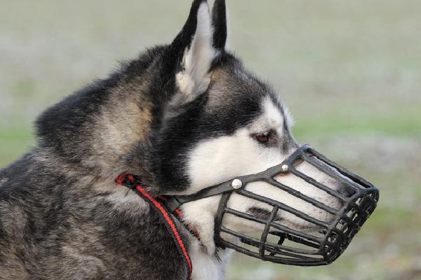 A dog wearing a muzzle.