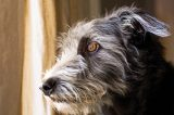 A gray dog staring longingly out the window.