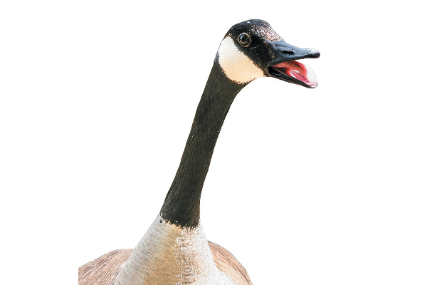 If you've ever heard a goose honking, then you are familiar with the sound of a collapsing trachea.