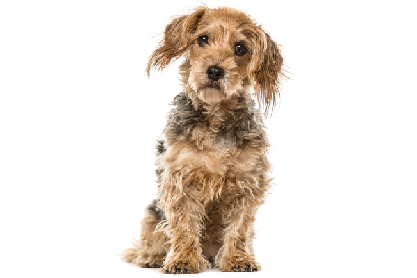 Breed Identification on Mixed-Breed Dogs Isn't That Accurate