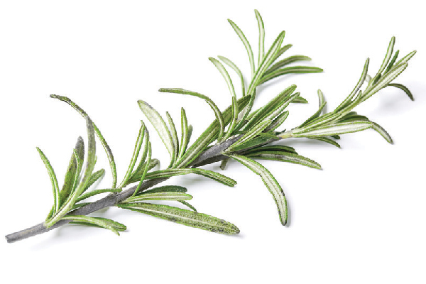 Rosemary is among the beneficial herbs for dogs.