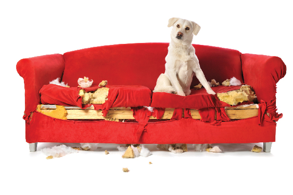 A dog who chewed up or ripped up a couch.