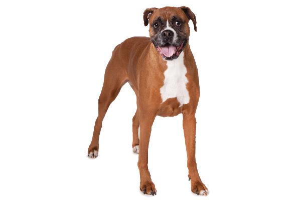 A Boxer, full-length body.