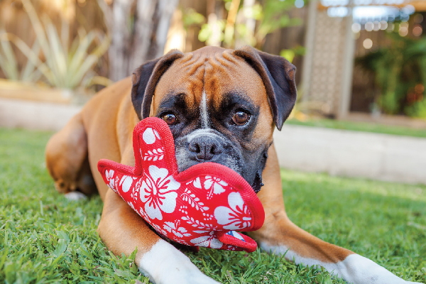 A Boxer playing with a toy.