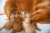 Multiple puppies nursing on one mother dog.