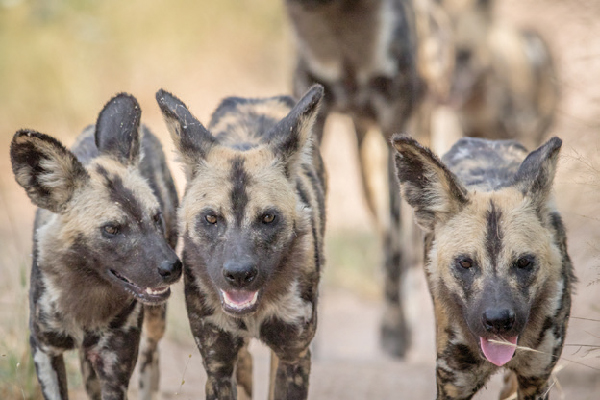 Wild African dogs.
