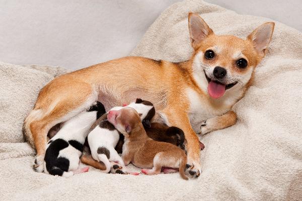 Happy mother dog nursing her newborn puppies.