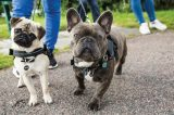 A Pug and a French Bulldog out for a walk.