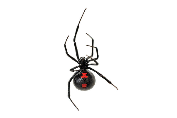 Black widow spider.