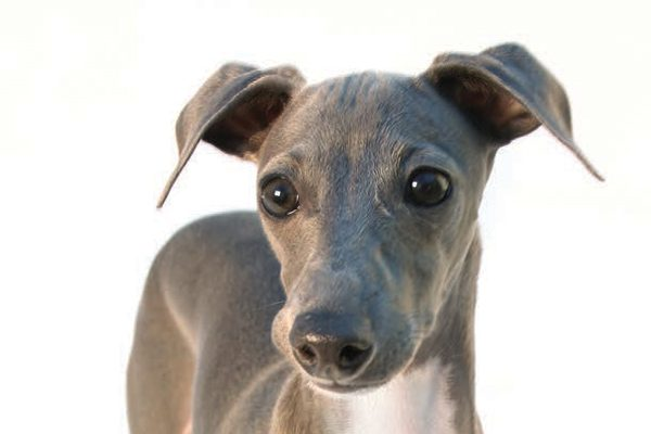 Photo of Greyhound