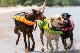 Dogs running on beach in life vests.