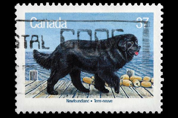 Newfoundland dog on a Canadian stamp.