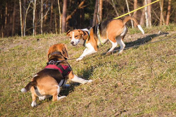 Two beagle dogs approaching each other as they walk on a leash.