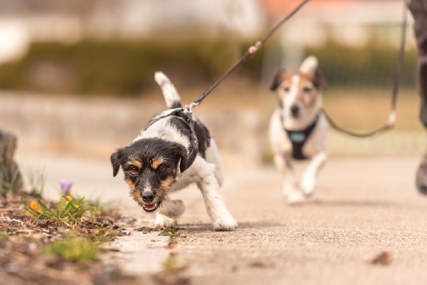 Two dogs on a leash, one excitedly running ahead.