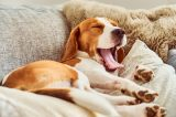 A beagle yawning on the couch, sleepy and relaxing.