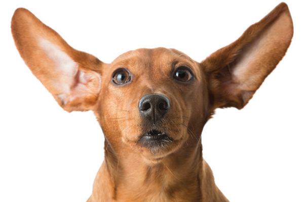 Dogs ears are extremely susceptible to infection due to many factors. Photography by: ©mrPliskin | Getty Images