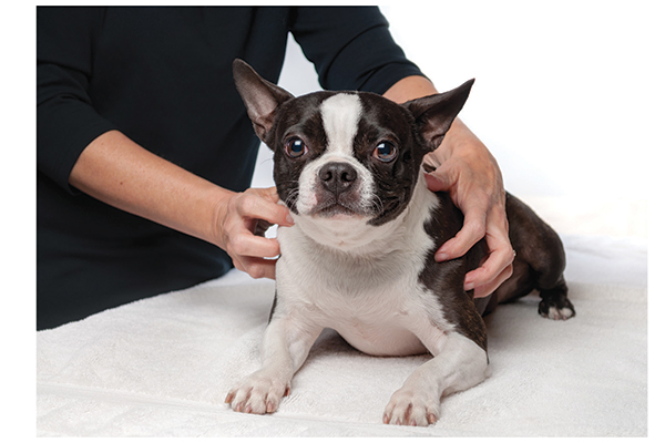 A massage from a certified veterinarian can ease muscular aches. Photography by: ©stphillips   Getty Images