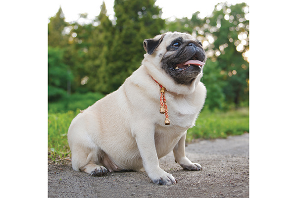 Pet Obesity Remains a Big Issue