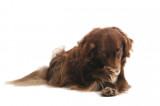 chronic vomiting in dogs