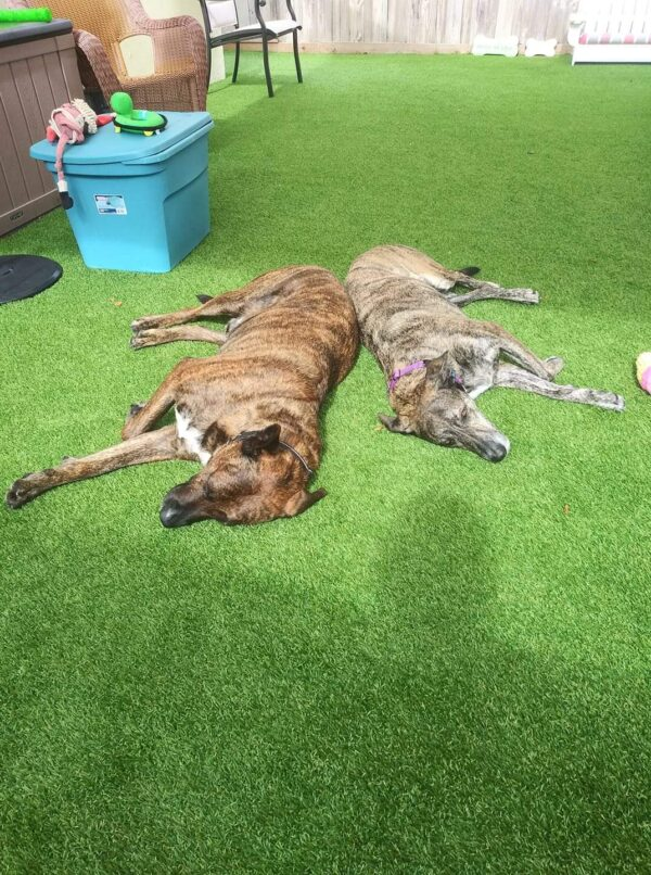 The rescue recommends that bonded dogs Sam and Suzy be placed in a loving home with no other animals or children, but with a fenced yard.