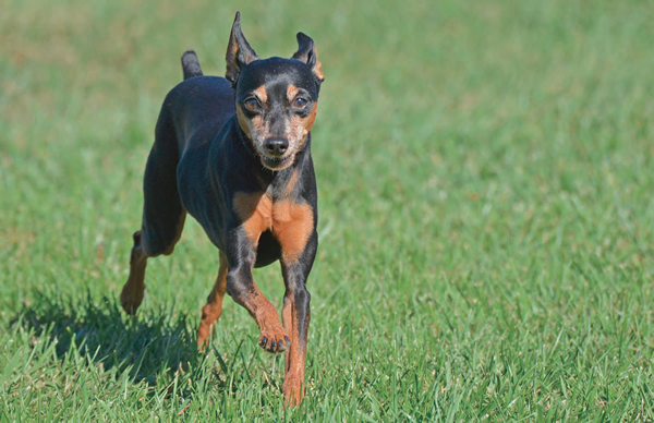 The High Stepping Miniature Pinscher