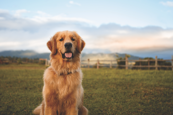 the golden retriever lifetime study