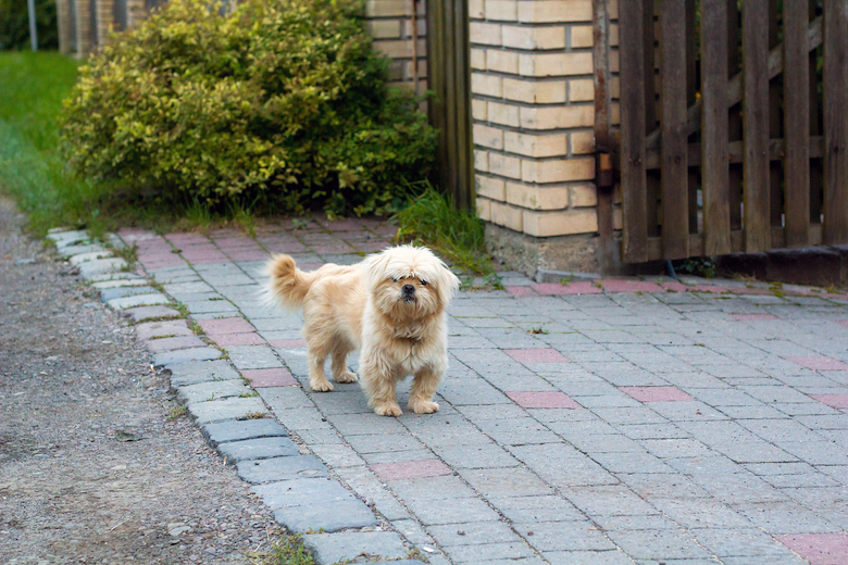 Dandie Dinmont Terrier near house