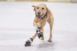 ice-skating dog