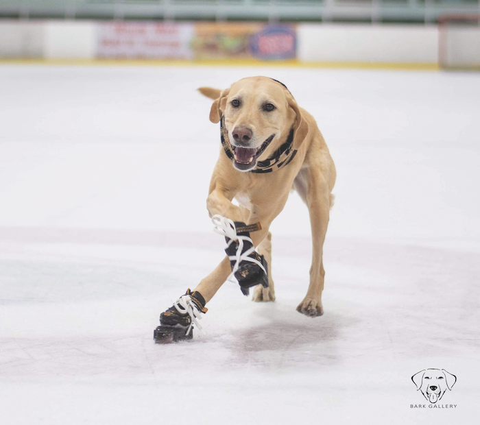 ice-skating dog