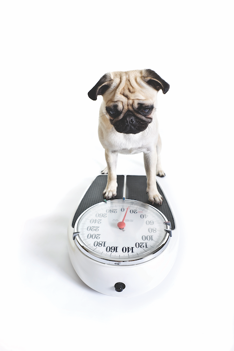 Dog Obesity and Arthritis