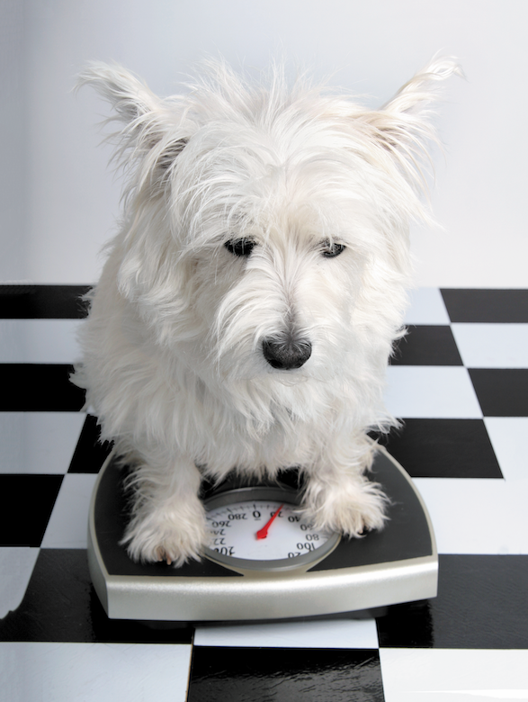 Photo of 10 Real Weight-Loss Tips for Dogs that Work