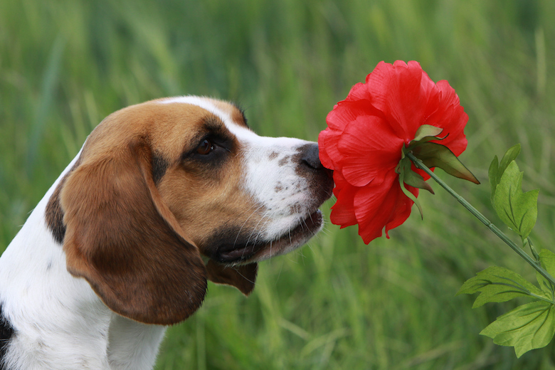 what flowers are poisonous flowers for dogs
